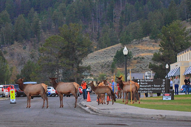 IMG_0177 Elk, Mammoth Hot Springs