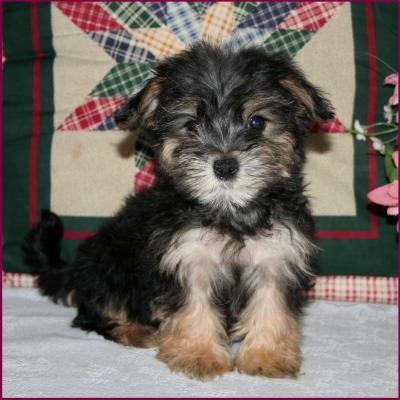 American Bulldog Puppies Morkie Puppy