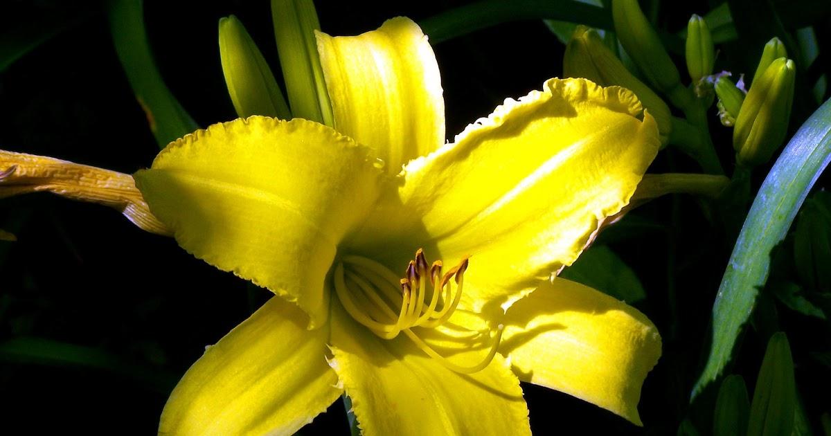 Gambar Bunga Lily Kuning - Koleksi Gambar Bunga