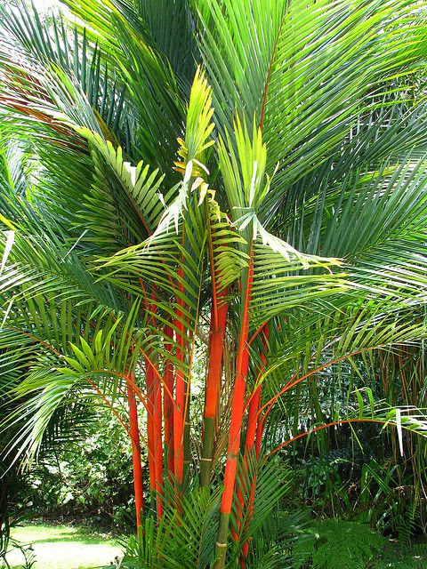 Cyrtostachys renda, also known by the common names red sealing wax palm and lipstick palm, is a palm that is endemic to the Malay Peninsula, Sumatra and Borneo. Because of its bright red colored crownshafts and leaf sheaths, Cyrtostachys renda has become a popular ornamental plant exported to many tropical regions around the world.