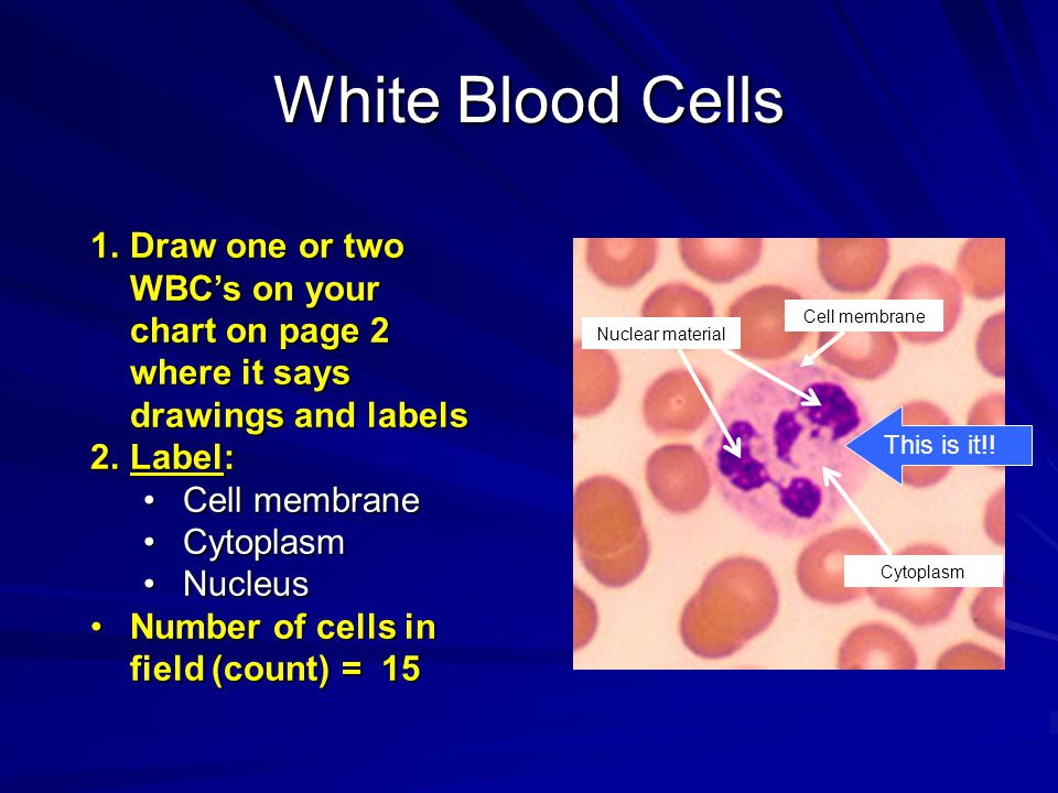 White+Blood+Cells+Draw+one+or+two+WBC%E2%80%99s+on+your+chart+on+page+2+where+it+says+drawings+and+labels
