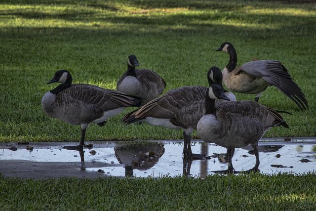Canada geese at Furman Park