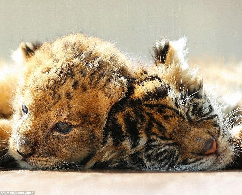 Os funcionários do parque comentou no Twitter como enquanto ele é jovem, o filhote de leão mais parece um leopardo nesta fotografia
