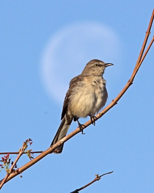 Mockingbird on the moon 20130130