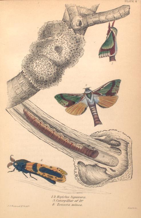 1. 2. Heptolus lignivora; 3. Caterpillar of D-o; 4. Zeuzera minea.  (1843)