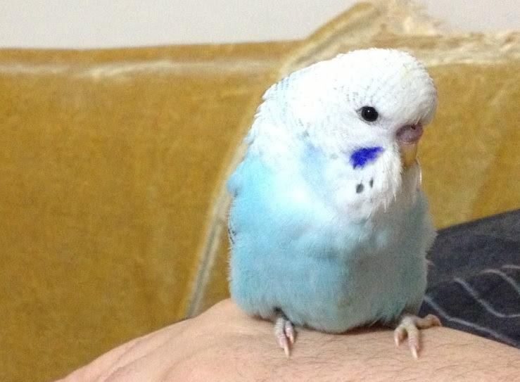 Muhabbet Kuşu Türleri Irkları Muhabbet Kuşu Forumu