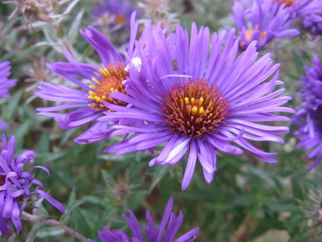 purple flowers, south waterfront park