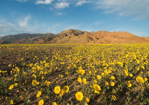 Super fioritura nella Death Valley © Ansa