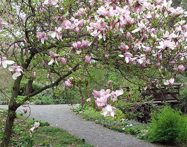 One of the many Magnolia trees is in full bloom.