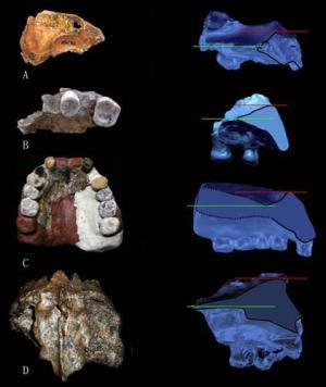 Este seres humanos arcaicos de Eurasia ofreció un piso nasal bi-nivel como se ha visto en los neandertales