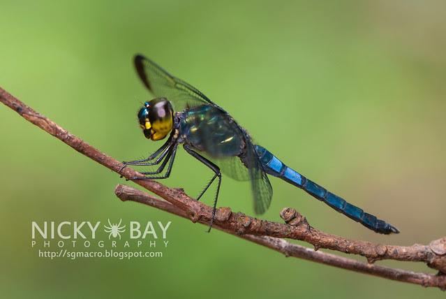 Dragonfly (Anispotera) - DSC_7443