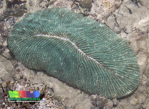 Feathery mushroom coral (Ctenactis sp.