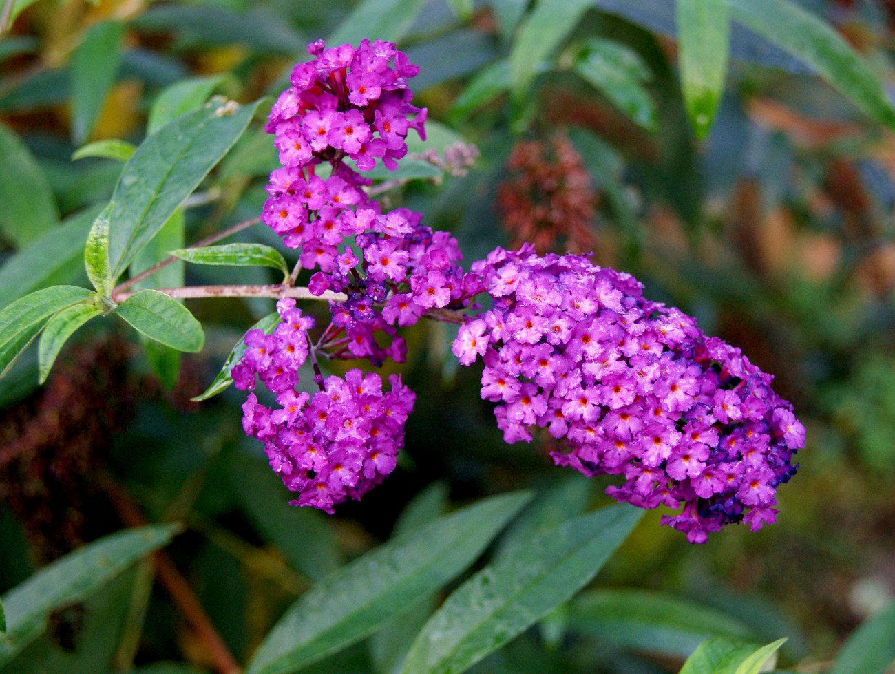 17.9, The last of the blooms on my butterfly bush