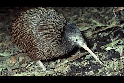 Dibujo Kiwi Animal