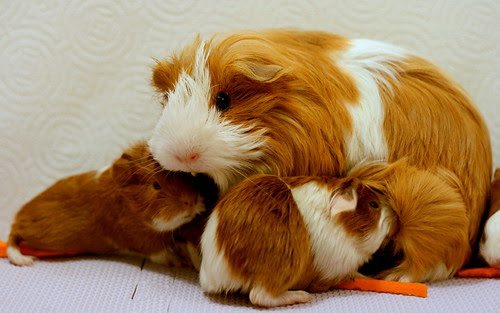Guinea Pig and her newborn babies