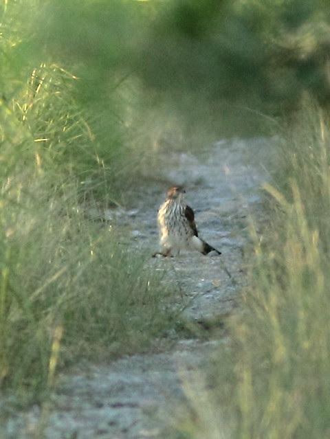Hawk with prey 20121022