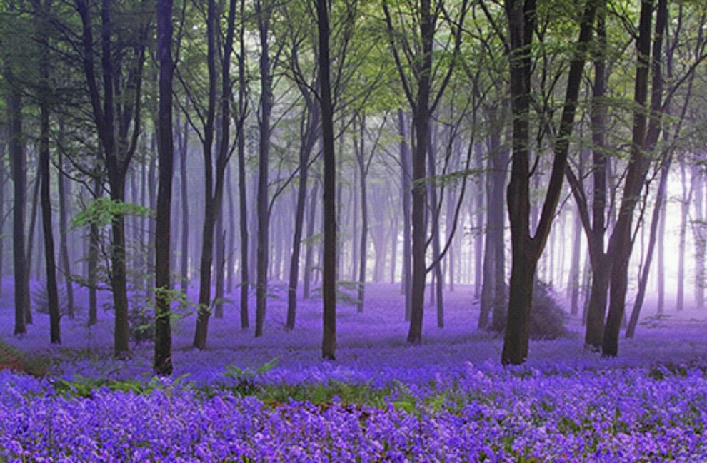 Bluebell carpet in the enchanted woods