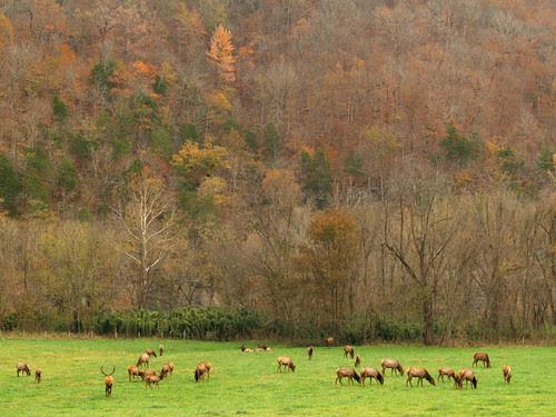 Elk at Boxley