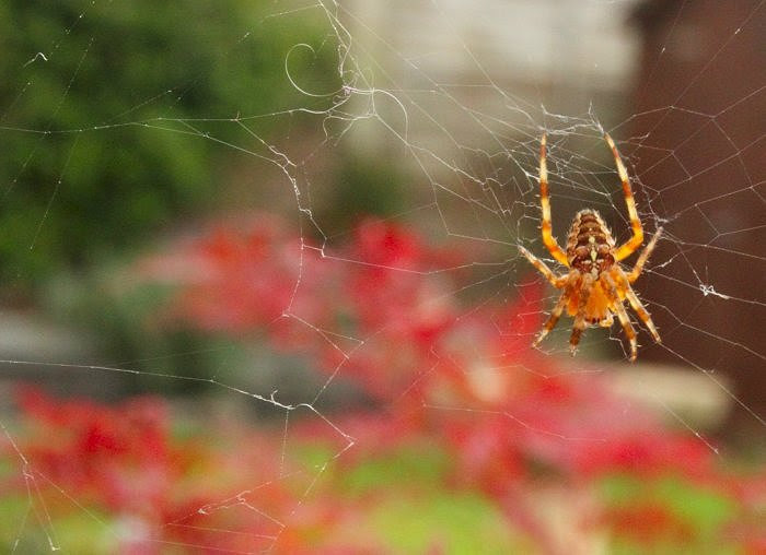 Spider in the garden...