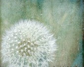 Dandelion Art Photograph Meadow Nature Blue Teal White Fluffy Dandelion Minimalist Photograph 8x8 - KalstekPhotography