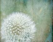 Dandelion Art Photograph Meadow Nature Blue Teal White Fluffy Dandelion Minimalist Photograph 8x8 - KalstekPhotography