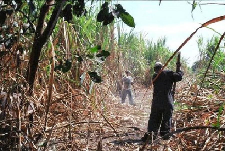 Todo lo que quería saber sobre los trabajadores de la caña de azúcar