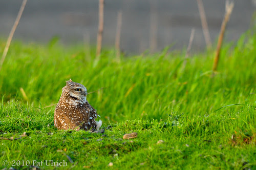 Burrowing owl in the wind