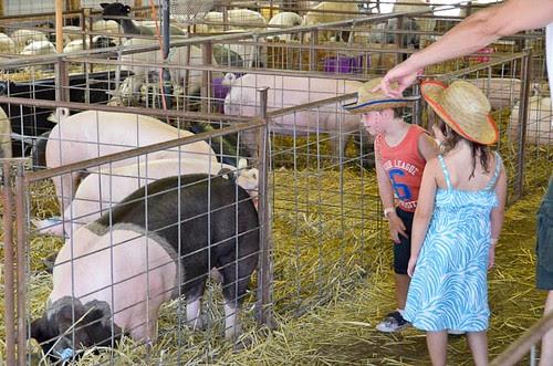 Big Butler Fair Pigs
