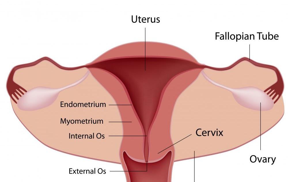 diagram of ovaries and fallopian