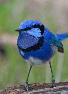 Splendid Fairy-wren Whiteman park, Perth, Western Australia  23Jun13 res by Wacrakey, via Flickr