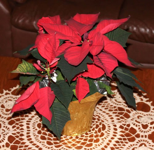 The Trouble With Poinsettias