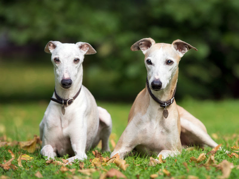 Buy Whippet Puppies Dogs For Sale Near Me In Texas USA