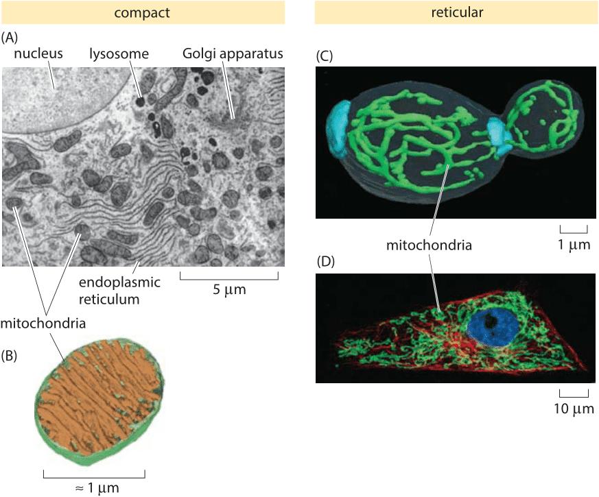 » How big are mitochondria?