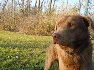 RANSOM: Chesapeake Bay Retriever, Dog; Lima, OH