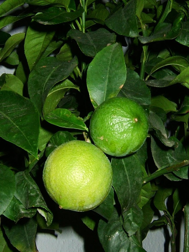 Bergamottepflanze