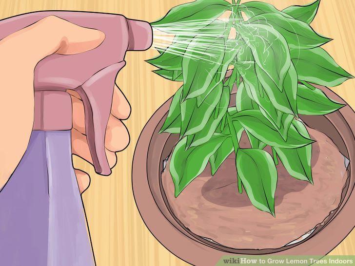 Grow Lemon Trees Indoors Step 13 Version 2.jpg
