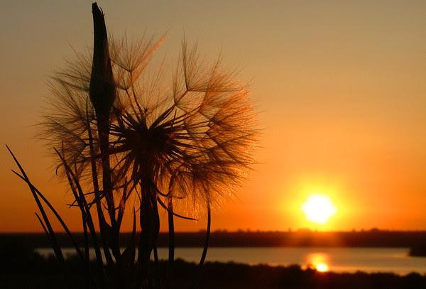 Salsify Sunrise