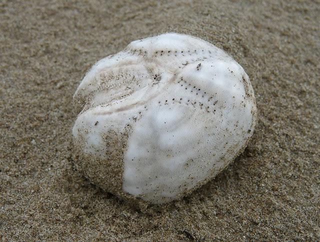 25643 - Sea Urchin, Cefn Sidan