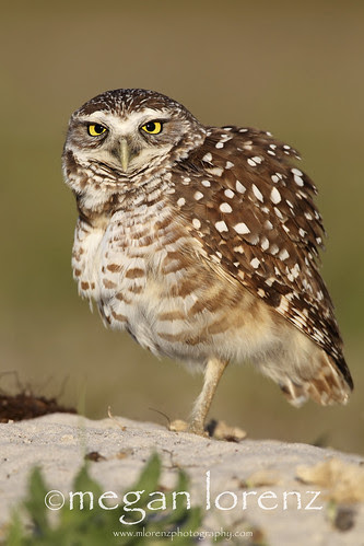 Angry Owl by Megan Lorenz