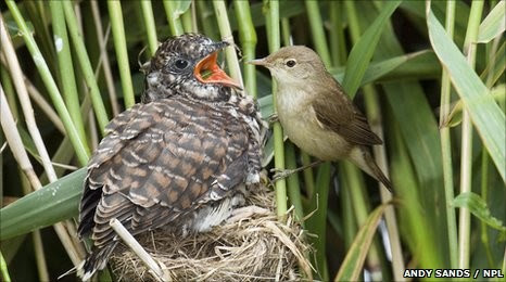 Tiny reed warbler feeds enormous cuckoo chick
