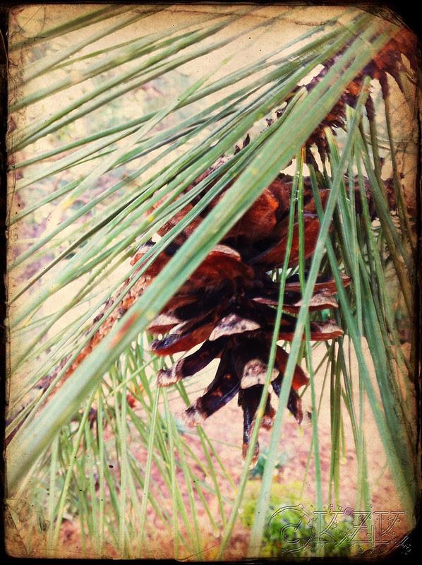 IMG_9330 Austrian Pine