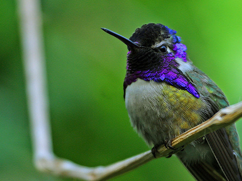 படிமம்:Hummingbird.jpg