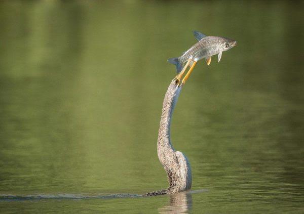 Carará com um peixe fresco. Cararás mergulham embaixo d'água e caçam peixes que espetam com seu bico afiado (Foto: Alexander Poellinger)