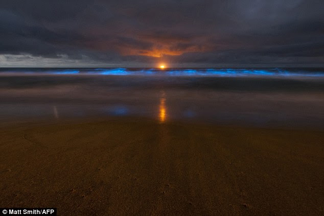 Algae bloom: By day the tiny plants turned the sea water bright red around Sydney, Australia, but in the dark the algae glowed neon blue