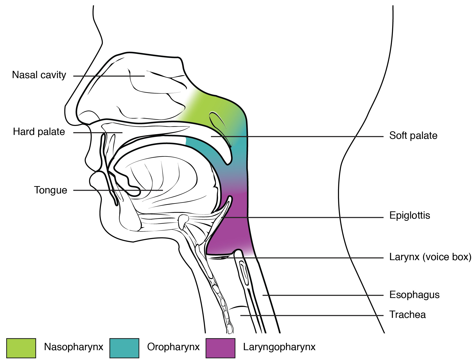 Throat Diagram