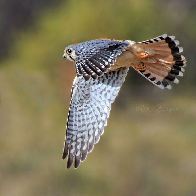 Kestrel                       in San Luis Obispo County, California