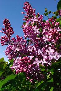 purple lilacs against a blue sky