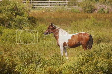 wild Outer Banks pony