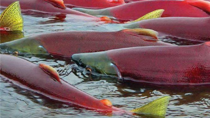Fukushima Effects: First Images of Radioactive Salmon in Canada