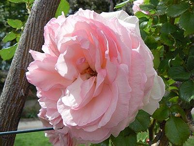 jolie rose pâle.jpg